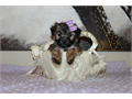 Beautiful Yorkiepoo baby she comes from a litter of 5 3 females and 2 males 610 lbs white poodle a