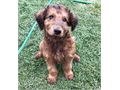 Adorable male doodle puppy he is airedoodle which is Airedale and poodle he is playful yet has a mel
