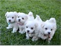 I am re-homing purebred Maltese puppies They are now 13 weeks oldThese puppies are well taken care