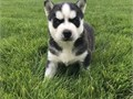 Sensitive Siberian husky puppies availableThese puppies akc registered  vet checked and will come