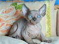 We have 2stunning Canadian Sphynx kittens ready for a new home They are 1 boy and girl All microch