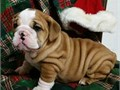 Adorable 9172595011 English Bulldog puppies male and female rehoming Puppiesare looking for an