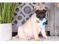 Pug Puppies for Sale Pure fawn available from fully health tested parents her