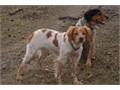 French Brittany Spaniel puppies - Excellent at pointing and retrieving  Great all around dogs  UKC