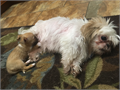 The mother is a pure housebred shih-tzu and the dad was a stray dog that spent his life on the stree