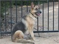 German Shepherd AKC 3 year old over sized large female Audi is definitely big enough to scare off