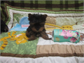 Ready Teacup Yorkie puppies nowthey have been micro chipped and vacsination all done there wonderfu