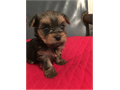 Absolutely Beautiful and well socialized Yorkie Puppies Full grown about 3-4 lb Well cared for Mo