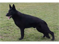 Igor is an imported Black German Shepherd male that has champion working bloodlines and a nationall