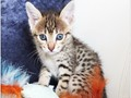 Healthy male and female TICA Savannah Kittens available and going at good prices  i have F2 to F5 M