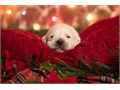 English Golden Retriever PuppiesPuppies will be ready to go their new loving h