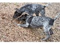 bright German Shorthaired Pointer Pups MFs10wks Shots UTD with papers For