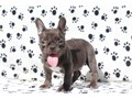 wwwFAMILYBULLDOGCOM Call 305 814-4645Say hello to Blade Chocolate French Bulldog This little