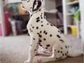 rehoming Dalmatian  PUPS males only 650-680-3337