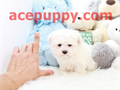 name Popcorn Teacup Maltese - MaleDOB 03032016estimated size 4-5 poundsregistered on s