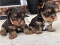 Purebred youkie puppies born on Easter SundayOne female  one male They are teacup size Happy and