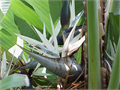 four 15 gallon 6 feet tall 30 each Cash Only Giant Bird of Paradise gorgeous icy white flowers larg