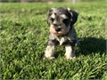 AKC Miniature Schnauzer pups family raised ready to home with pedigree 02-18-17 Visit wwwsouthcoun