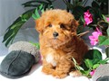 Uniquely colored RED YorkiePoo Male Puppy named ROOFUS DOB 1-16-17 Current on vaccines  deworming