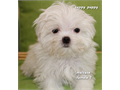 Maltese purebred puppy Adorable female Maltese puppy looking for a new home Very small and cute S
