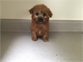 popular caramel color Maltipoo boy ready to go home by a licensed breederone of kind color babyd