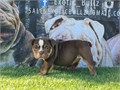 Ms Janet is available Chocolate Tri female Janet will comes with full AKC breeding rights Up to da
