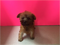 Gorgeous red color Maltipoo boy available by a licensed breeder Babydoll face no brokers please