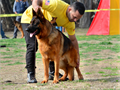 German Shepherd  Imported from Gemany 4 Years Old  Fido Von Modithor 323893-2379 STUD ServiceS