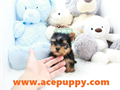 Beautiful quality teacup Yorkshire Terrier Pups are seeking to find their new loving family Born on