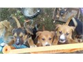 I have 7 puppies They have been around kids and other pets Very lovable animals Lab and chow mixe