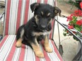 German Shepherd pup AKC 9 week old male father 100 lbsHighly trained purchased from law enforcem