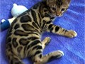 Hi We are Rehoming Purebred Hypoallergenic Bengal Kittens The kittens already Vet Checked deworme