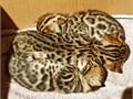 Beautiful Bengal kittens 8 weeks old 2 males and 1 female They have very loving natures and have