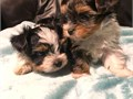 Promo promo  We the yorkies puppies is giving 10 discount to the first ten people who other dogs