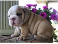 Beautiful KC registered English bulldog puppies available Well socialized healthy playful with n