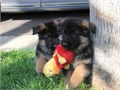 BoyGirls  10weeks old  vaccinated and come papers interested Textcall 510 296-5061