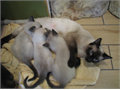 Siamese kittens born 4-12-17 just turned 8 weeks On hard and soft food litter box trained