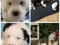 Akc registered sheepdog puppiesavailable now with a rehoming
