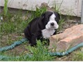 AKC registered bulldogs These puppies are given lots of love and care from adults n children They
