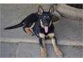 AKC GERMAN SHEPHERD PUPPIES Working Bloodlines 2 females Health Guarantee Full AKC Reg ShotsW