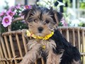 Awesome Yorkie Puppies for Adoption They are super low key and loves to snuggle