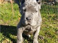 Stunning AKC Cane Cors pupsVaccinated and health certifiedFull AKC Registr
