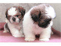 Adorable shih tzu pups ready for new homes They are 7 weeks old and is ready for their new homes T