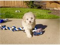 MINI GOLDEN DOODLE PUPPY FOR SALE  ADORABLE GREAT PERSONALITY YOU WILL FALL IN LOVE SHOTS AND DE