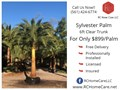 Call us now to schedule your beautiful 6ft Clear Trunk Sylvester Palm Installed Whole Palm 13-15ft