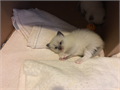Pure breed Ragdoll kittens ready in 5 weeks taking deposits Reserve yours now3 males and 1 fema