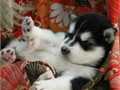 Adorablegentle and affectionate Siberian huskies for adoptionThey are 9 weeks old vet checked and