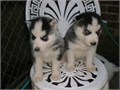 I have two purebred black and white male and females Siberian Husky puppies available They have a