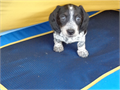 Our miniature dachshund puppies are very happy healthy and playful and like to give kisses and cudd