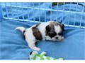 Male shih Tzu pup He will go to his new home current on hispuppy shots wormed with written heal